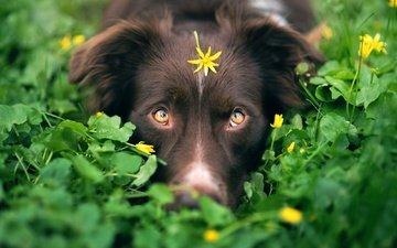 глаза, зелень, мордочка, взгляд, собака, камуфляж, цветочек, австралийская овчарка, iza łysoń