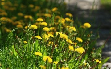 цветы, зелень, травка, одуванчики
