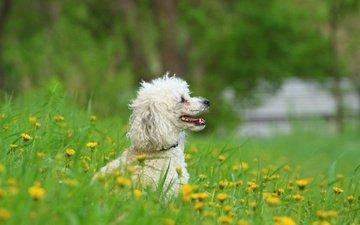 цветы, зелень, взгляд, собака, профиль, одуванчики, пудель