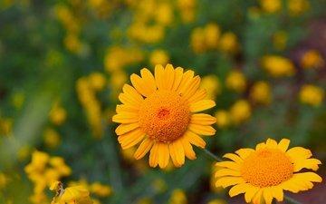 цветы, лепестки, желтые цветы, антемис, пупавка