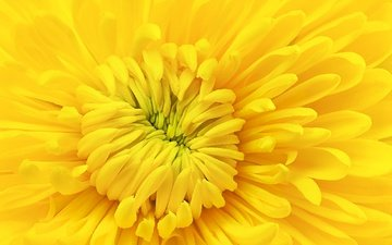 желтый, макро, цветок, лепестки, хризантема