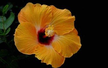желтый, цветок, черный фон, гибискус