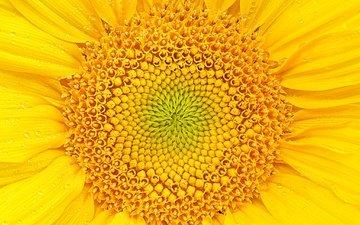 желтый, макро, цветок, лепестки, подсолнух