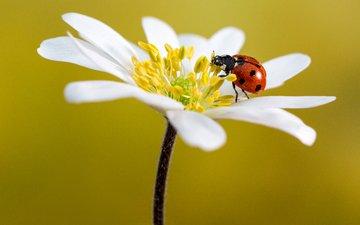 макро, насекомое, цветок, лепестки, божья коровка, анемон