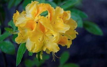 желтые, азалия, рододендрон