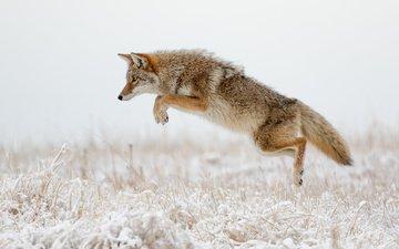 зима, прыжок, хищник, лисица, охота, хвост, койот