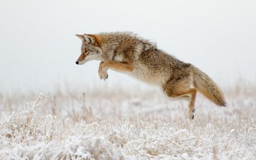 winter, jump, predator, fox, hunting, tail, coyote