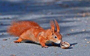 животное, белка, орех, грызун
