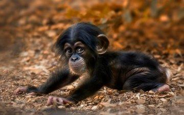 мордочка, взгляд, животное, обезьяна, детеныш, шимпанзе