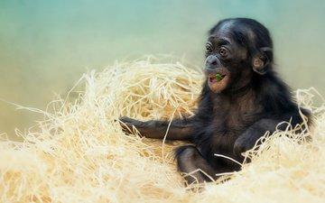 мордочка, взгляд, животное, обезьяна, солома, детеныш, шимпанзе