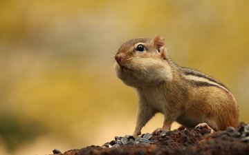 animal, seeds, chipmunk, rodent, cheeks