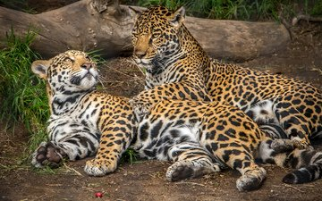 animals, predator, jaguar, jaguars