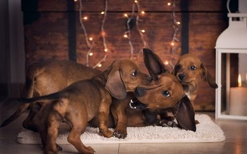 animals, the game, puppies, dachshund, dogs, mat, fees