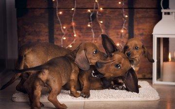 животные, игра, щенки, такса, собаки, коврик, таксы