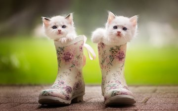 animals, muzzle, mustache, look, cats, kittens, boots, ragdoll, monika koc
