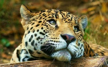 face, animals, look, leopard, big cat