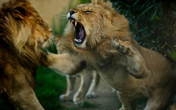 animals, lions, showdown, predators, fight