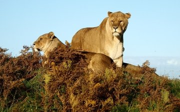 grass, animals, lions, savannah, lioness