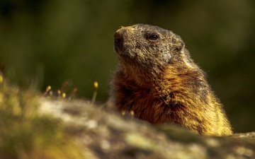 animals, muzzle, marmot, rodents