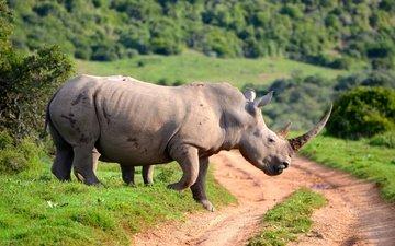 дорога, животные, носорог, рог
