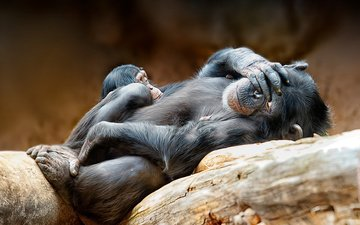 животные, обезьяна, бревна, детеныш, шимпанзе