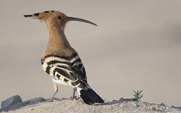 animals, bird, beak, feathers, hoopoe