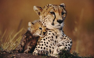 animals, cheetah, savana, cub, cheetahs