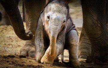 животные, слоны, детеныш, слоненок