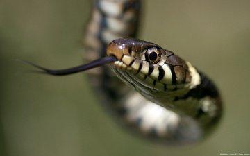 macro, snake, language, reptile, sting, sand snake