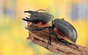 beetle, macro, insect