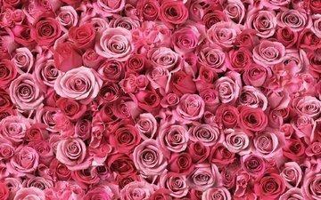 цветы, бутоны, розы