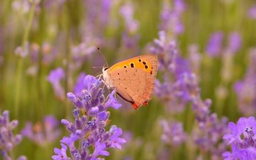 flowers, macro, insect, lavender, butterfly, wings