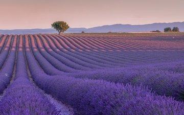 flowers, tree, field, lavender, france, valensole