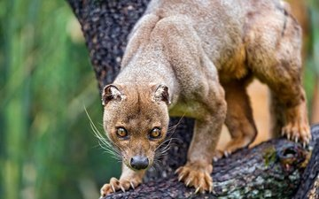 face, tree, animals, paws, claws, zoo, fossa