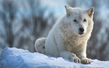 face, snow, nature, winter, paws, look, white, lies, wolf, polar, arctic wolf, arctic