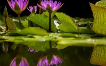 flowers, leaves, reflection, petals, bokeh, water lilies, water lily