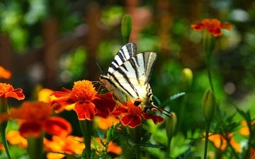 flowers, insect, sailboat, butterfly, wings, marigolds