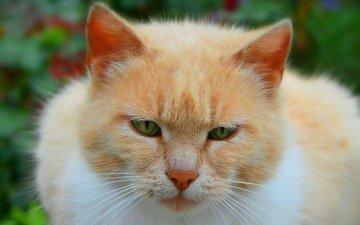 cat, muzzle, mustache, look, green eyes