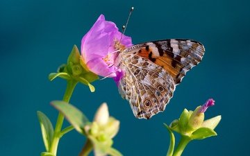 macro, insect, background, flower, butterfly, wings, the painted lady