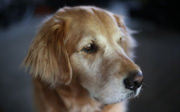 macro, muzzle, look, dog, golden retriever