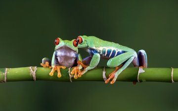 background, bamboo, pair, color, frogs, wand, bokeh, reptiles, amphibians, tree frog