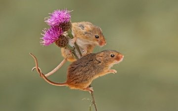 background, a couple, rodent, mouse, harvest mouse, the mouse is tiny, thistle