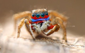 eyes, macro, insect, spider, hairs, legs