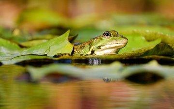 вода, природа, листья, макро, водоем, лягушка, пруд, земноводные