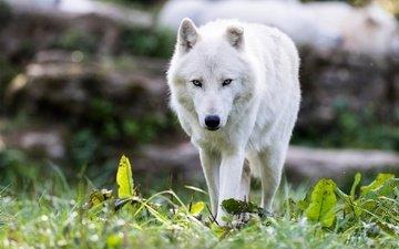 морда, трава, природа, лето, взгляд, белый, прогулка, волк, полярный, арктический