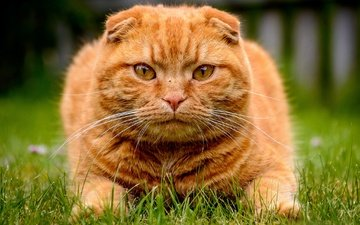face, grass, look, red cat, scottish fold, scottish fold cat