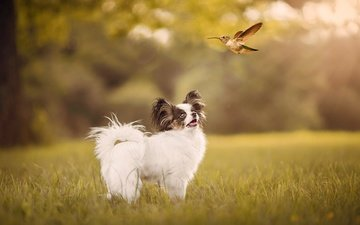 grass, nature, summer, dog, glade, puppy, bird, hummingbird, bokeh, papillon