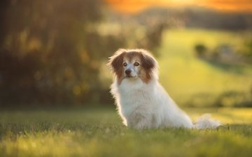 grass, nature, background, summer, look, dog, glade, puppy, bokeh, papillon