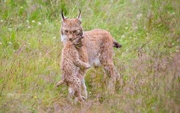 grass, nature, mom, cub, lynx