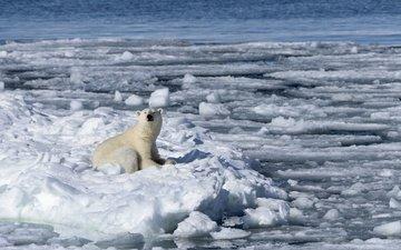 снег, зима, полярный медведь, медведь, лёд, льдины, белый медведь, льды, нанук